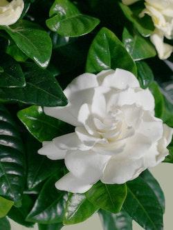 Gardenia Plant Close Up