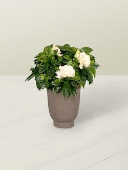Gardenia Plant Side