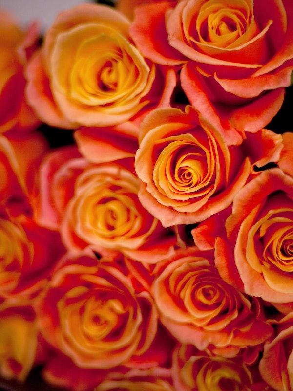 Miss Piggy Roses Close Up