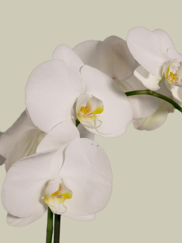 Orchid Plant Close Up 2