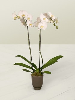 Orchid Plant Side 2